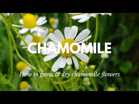 How to grow & harvest chamomile   grow chamomile for tea   drying & tips