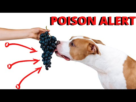 Can dogs eat grapes? don't make this mistake!
