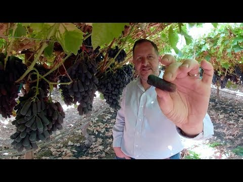 How cotton candy grapes are made (360° vr)