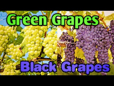 How to grow green and black grapes    how to make net for grapes    netting process full in telugu