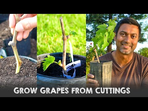 Easy way to grow grapes from cuttings