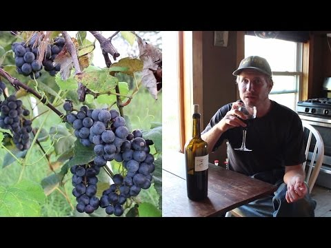 Making wine from home grown organic grapes | first steps
