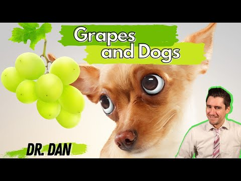 Are grapes and raisins poisonous for dogs? dr. dan talks symptoms and treatment for grape toxicity.