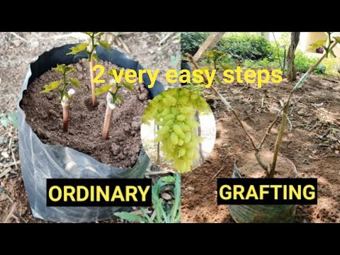 Growing grapes from seeds or stem is very easy with 2steps  easy way to grow grapes  how grow grapes