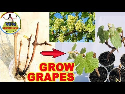 How to grow grapes plant at home - easy and fast way