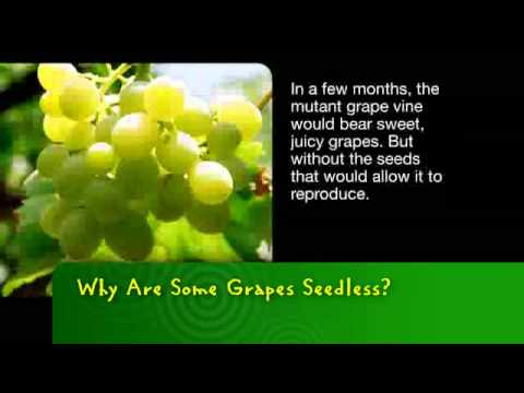 Why are some grapes seedless?