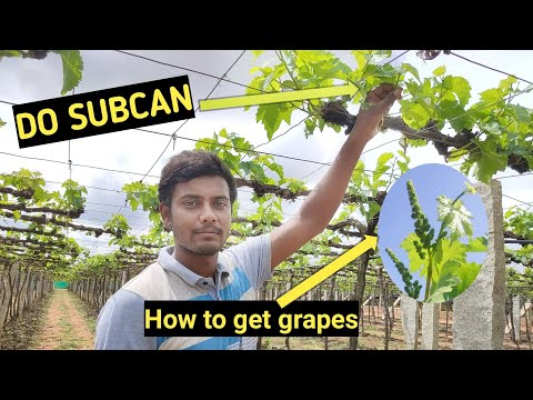 How to grow grapes   how to get grapes in grapes plant   easy methods to grow grapes by doing subcan