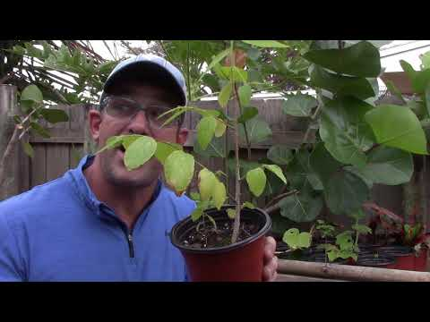 How to grow cotton candy fruit trees in florida, it is so easy!