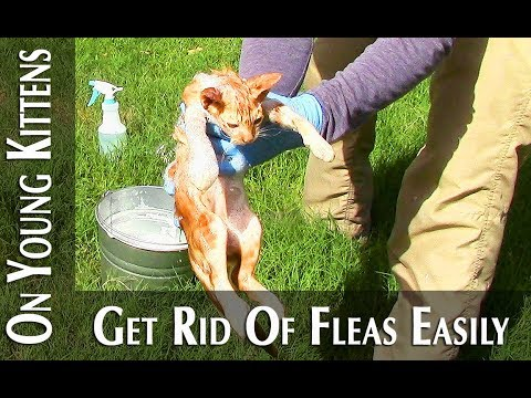 Flea control for young kittens under 8 weeks (how to - easy solution)