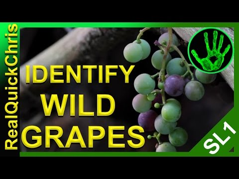 Those wild grapes could kill you! how to identify wild edible plants and weeds to forage for food