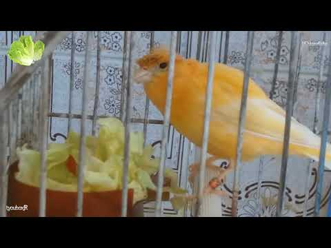 Can canaries eat lettuce