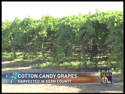 Cotton candy grapes from the grapery