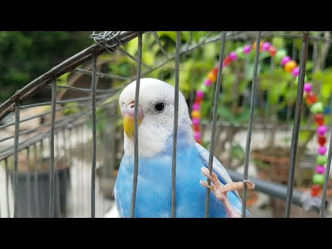 Baby budgies playing & singing | budgie cocopoco | happy budgie sounds