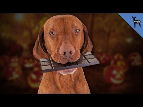 Chocolate can kill your dog
